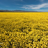 A field of yellow flowers in Carrizo Plain National Monument