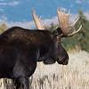 A bull moose passes the photographer.  Grand Teton National Park, Wyoming, USA