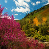 Redbud and California Poppies