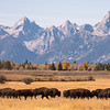A herd of bison file past the Teton Mountains in Grand Teton National Park, Wyoming, USA