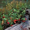 Tyttebær, Vaccinium vitis-idaea, viktig lyngplante i skog