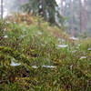 Pine forest with spider web on bliberrry (Vaccinium myrtillus)
