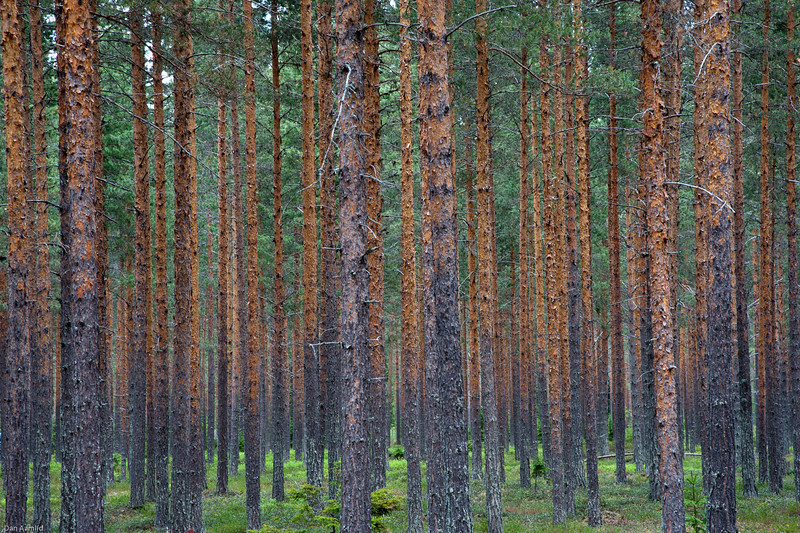 Scots pine forest in the Umeå area (Sweden)