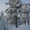 Scots pine, Norway