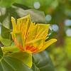 Bloom from a Tulip Poplar tree.