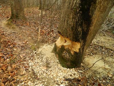 Beaver activity.