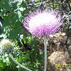 New Mexico Thistle. Many parts are edible.