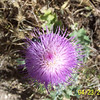 A thistle blooming.