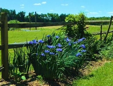 Blue Iris's