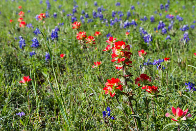 Hill Country Wildflowers 2015
