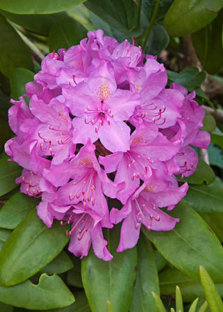 Rhododendrons, Hull, MA