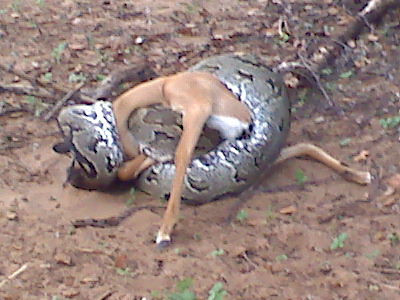 Python killing baby impala. Didn't have a good camera with me, so had to use my smartphone.