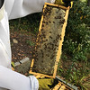 C1 East   95% recently capped honey 10% bee cover