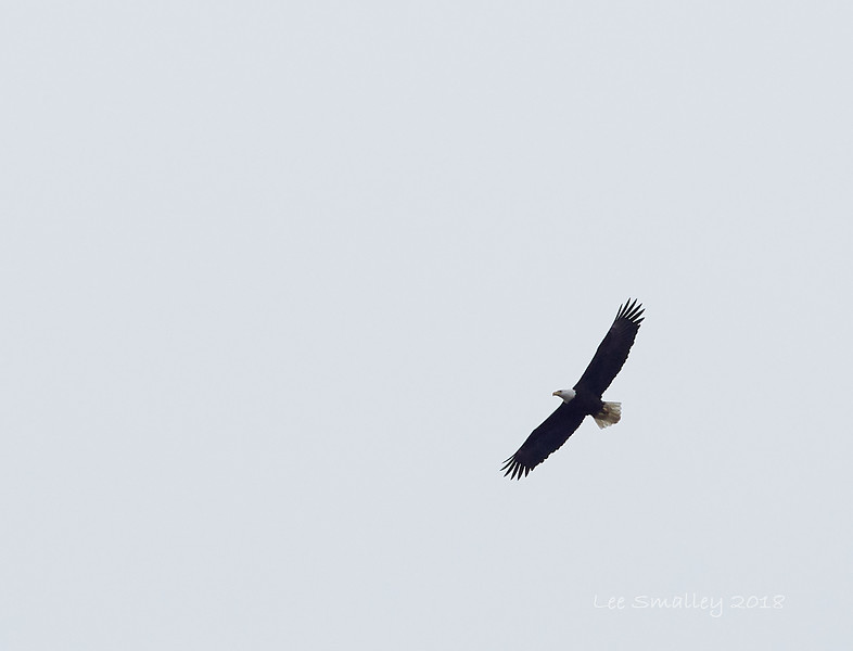 Bald Eagle, Adult soared overhead at times.