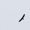Bald Eagle, Adult soared overhead at times.
