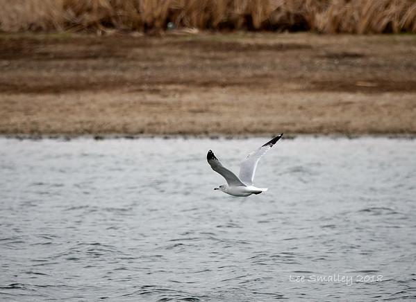 Ring-billed Gull.