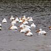 White Pelians huddling in the cold. Guide said they have a wingspan of 108 inches!