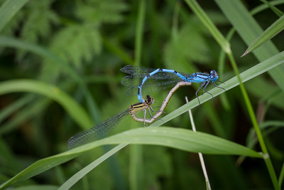 Common Blue Damselfly M & F
