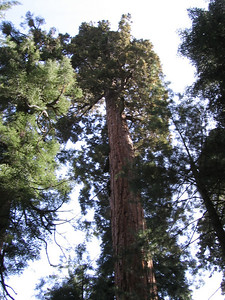 Within three or four miles the trail intersects the western edge of the Garfield Grove of Giant Sequoias.