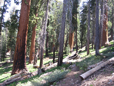 Redwoods and pines along the shaded trail.