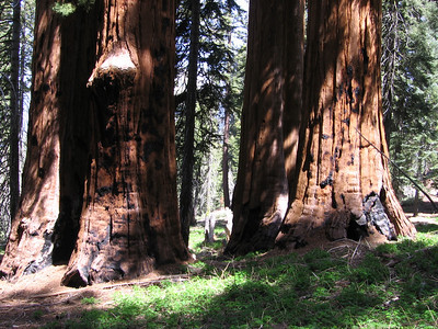 The bases of the redwoods attest to the ongoing action of fires throughout many centuries.