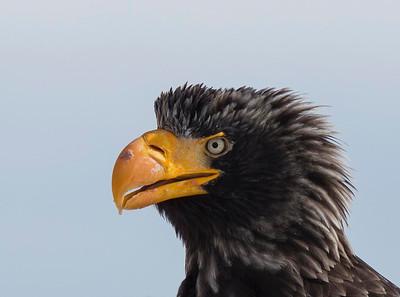 Stellers Sea Eagle close up portrait