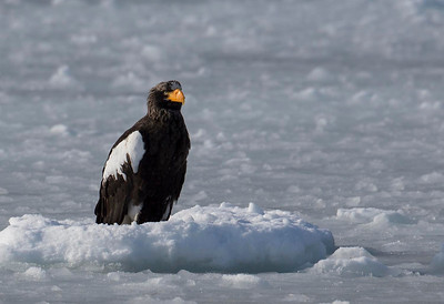Stellers Sea Eagle on sea ice