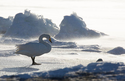 Whooper Swan at Lake Kussharo
