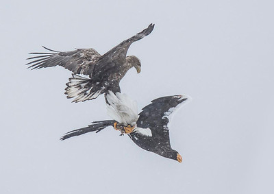 White Tailed Sea Eagle and Stellers Sea Eagle fighting over fish in snow