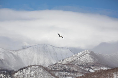 Stellers Sea Eagle over mountains of Rausu