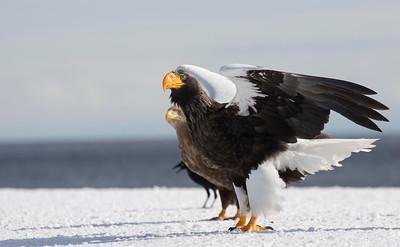 Stellers Sea Eagle, White Tailed Sea Eagle and Crow
