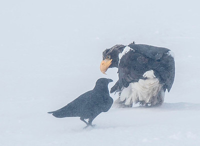 Stellers Sea Eagle and Raven in a blizzard