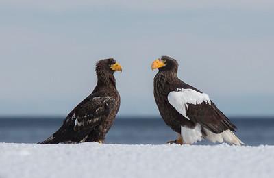 Adult and juvenile Stellers Sea Eagles