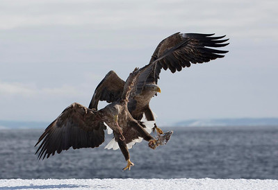 White Tailed Sea Eagles fighting over fish head