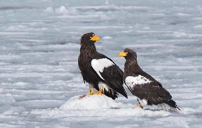 Stellers Sea Eagles on sea ice