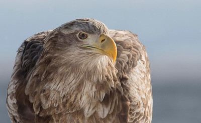 White Tailed Sea Eagle close up portrait