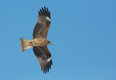 Black Eared Kite