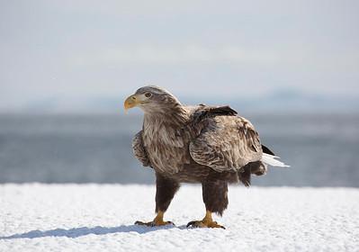 White Tailed Sea Eagle
