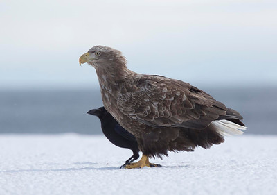 White Tailed Sea Eagle and Jungle Crow
