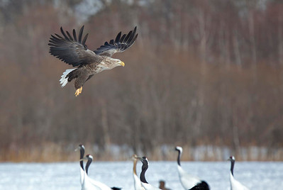 White Tailed Sea Eagle and Japanese Red crowned Cranes