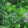 A closer look at Geranium Brookside which self-sows a bit. I love this dainty plant as it weaves among all the others. Another plant that graces this area a bit earlier is chive, seen in the lower left corner, which matches with self-sewn mauve Aquilegia and mauve Hesperis matronalis.