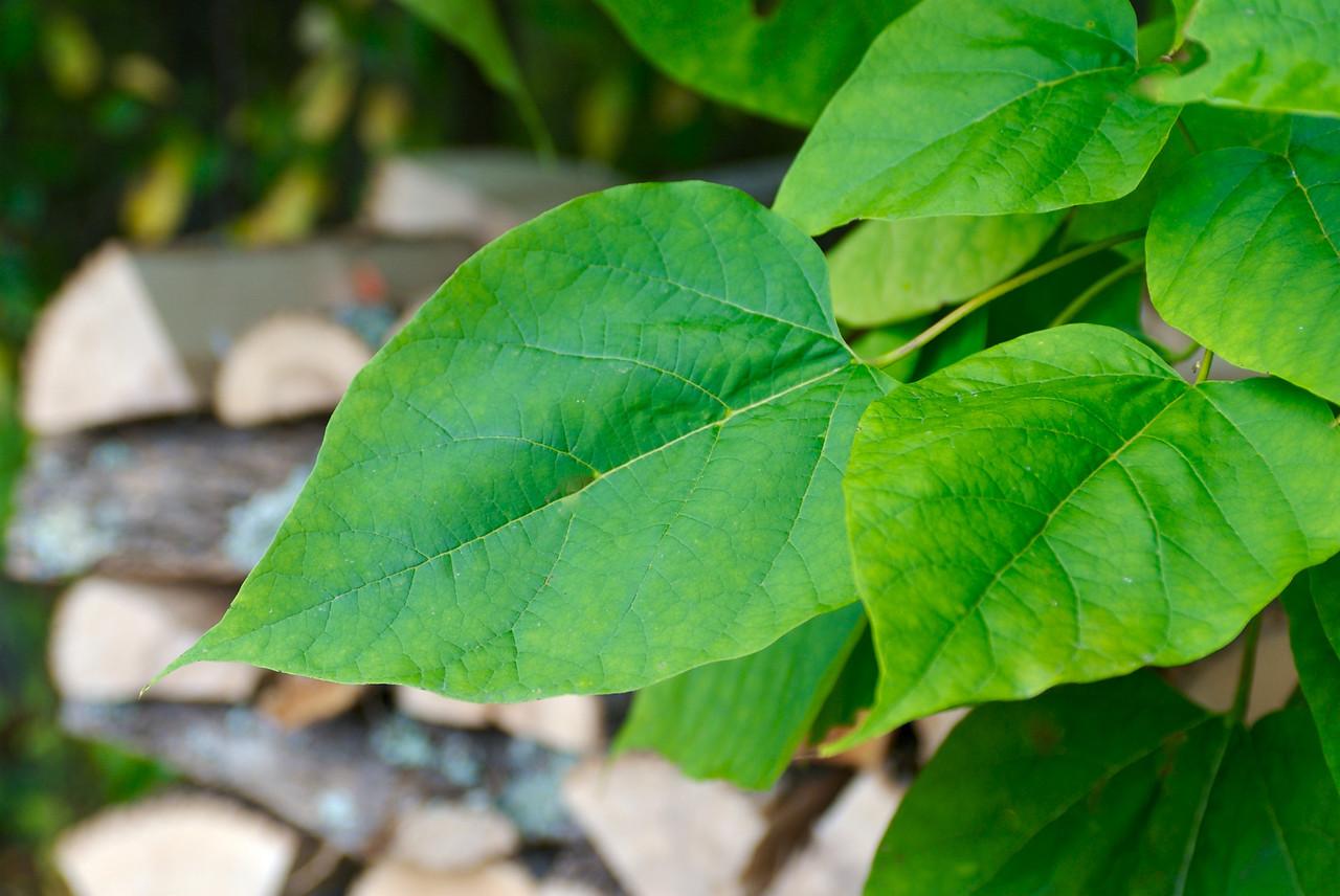 Leaves of the Magic (Vanilla?) Bean Stalk (Tree).