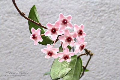 Hoya Carnosa - Pink