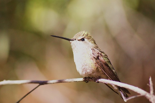 Humming Bird, Sonoran Desert Museum, AZ