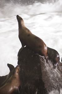Mother and Baby, Sea Lion Caves, OR