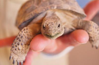 Desert Tortoise, Sonoran Desert Museum, AZ