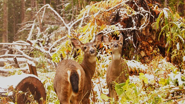 Deer, Lake Angeles, Olympic National Forest, WA