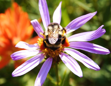 Bumble Bee, Paradise, Mt. Rainier, WA