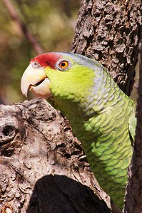 Parrot, Sonoran Desert Museum, AZ
