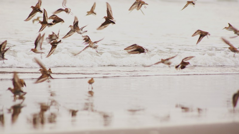 A Feathered Frenzy, Kalaloch, WA